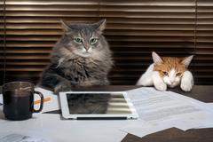 Cats office staff. The office, table, tablet, working environment. The chief Stock Photos