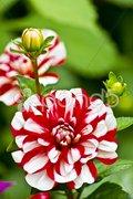 White-red dahlia blossom Kuvituskuvat