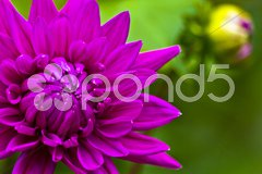 Violet dahlia blossom macro Stock Photos