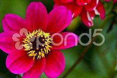 Red-pink dahlia blossom Kuvituskuvat