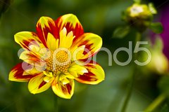 Yellow-red dahlia blossom Stock Photos