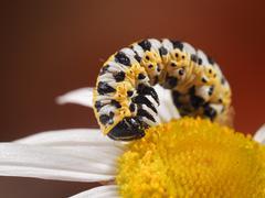 Pest Caterpillar on flower camomile. Yellow and black caterpillar color. macr Stock Photos