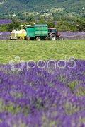 Lavender harvest, Alpes-de-Haute-Provence Departement, France Stock Photos
