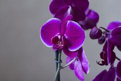 Orchid Jewel Stock Photos