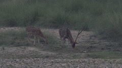 Dappled deer n the forest Stock Footage