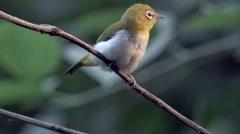 Bird Park - Songbird Red-whiskered Bulbul Stock Footage