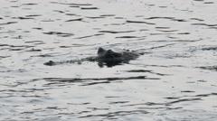 Crocodile in Chitwan National Park Stock Footage
