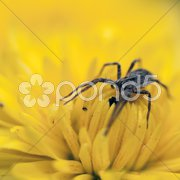 Small spider on a narcissus Stock Photos