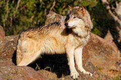 Gray wolf (Canis lupus) Kuvituskuvat