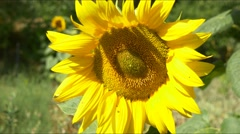 Sunflower yellow blue sky bright sunny weather close up 4k  natural energy Stock Footage