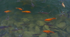Goldfish and carp in clear water Stock Footage
