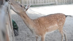 White-tailed deer doe and fawn Arkistovideo