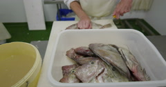Worker in a seafood processing factory, preparing fresh fish for sale Stock Footage