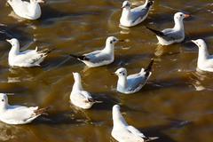 Seagulls float on sea. Stock Photos