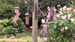Goldfinches, eating seeds from birdfeeders. Stock Footage