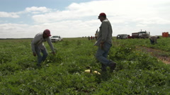 Workers pumpkins from the vines in a Texas field. 4K Stock Footage