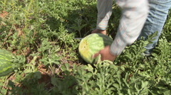 A worker cuts a water mellon from the vine and moves it. 4k Stock Footage