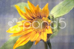 Sunflower blossom Kuvituskuvat