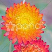 Lightning straw flowers Kuvituskuvat
