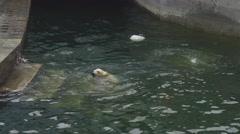 Polar bears at the zoo Arkistovideo