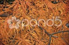 Japanese maple in autumn Stock Photos