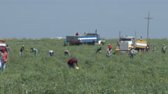 Migrant workers cut and load watermelons into trucks in a Texas field. 4k Stock Footage
