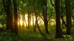 Sunlight through trees in forest Stock Footage