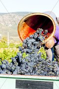 Wine harvest in Fitou appellation, Languedoc-Roussillon, France Stock Photos