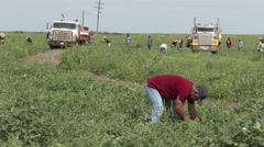 Worker cuts watermelons from vine as they are being loaded in b.g.,  4K. Stock Footage