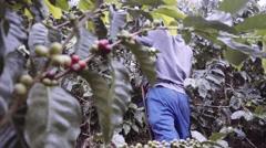 Man picks ripe coffee beans Stock Footage