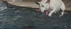 Dog Jumping into Pool Stock Footage