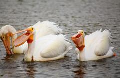 White Pelicans (Pelecanus erythrorhynchos) feeding Stock Photos