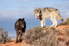 Gray wolves (Canis lupus) Stock Photos