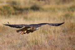 Red-tailed hawk in flight Stock Photos