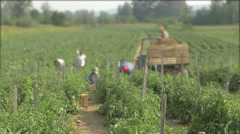 Group of farmers harvesting tomatoes on the plantation by Cutter. Stock Footage