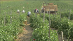 Plant of tomatoes on the plantation in focus close up,pickers blurred by Cutter. Stock Footage