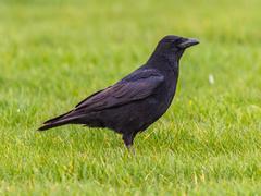 Black Crow profile on green grass background Stock Photos