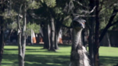 Emu close up walking Stock Footage