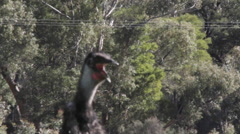 Emu close up walking mouth open Stock Footage