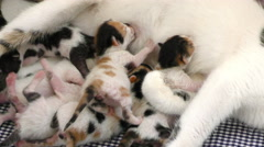 Kitty Baby Cats Feeding from Mothers Breast Stock Footage