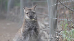 BENNET WALLABY - Kangaroo Creek Farm - Lake Country, BC Stock Footage