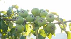 Nature pear tree branch sunlight video glare beautiful Stock Footage