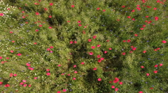Aerial view over Poppy flowers, camomile and blue gladiolus on the spring field Stock Footage