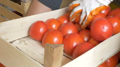 Farmer's hands sorting and packed ripe tomatoes in the box, close up by Cutter. Stock Footage