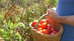Gardener Picking Tomato Vegetable Garden Farmer Harvesting Tomatoes organic 4k Arkistovideo