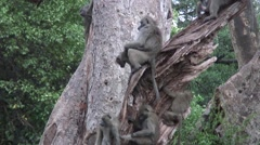 Wild Baboon Monkey with baby in African Botswana savannah Stock Footage