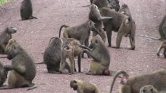 Wild Baboon Monkey in African Botswana savannah Stock Footage