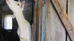 Funny goat in the farm Stock Footage