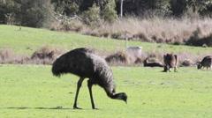 Emu walking and eating with kangaroos Stock Footage