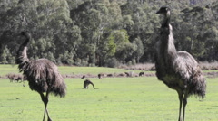 Emus standing with kangaroos jumping background Stock Footage